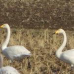 野生の白鳥